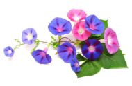 Morning Glory, Ipomea Early Call Mixed colour 10 Seeds
